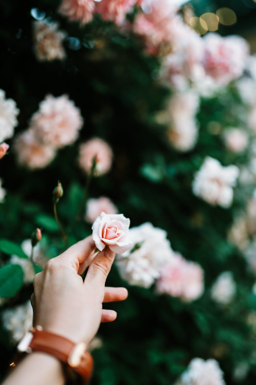 ritratto fine art rappresentante un braccio di donna con orologio al polso che coglie un fiore da un arbusto di rose rosa chiaro